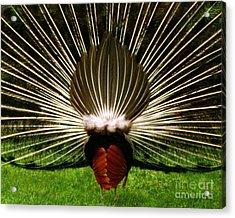 Rear End Of Peacock In Full Aray Acrylic Print by Merton Allen