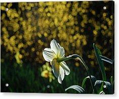 Rear View Daffodil Acrylic Print