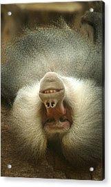 Reclining Baboon Acrylic Print