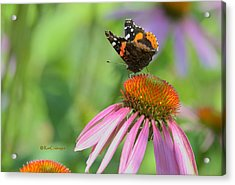 Red Admiral On Cone Flower Acrylic Print