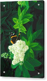 Red Admiral On Spirea Acrylic Print