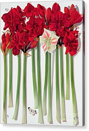 Red Amaryllis With Butterfly Acrylic Print by Lizzie Riches