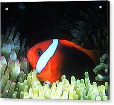 Red And Black Anemonefish, Great Barrier Reef Acrylic Print