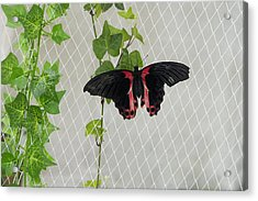 Papilio Rumanzovia Butterfly Acrylic Print