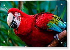 Red And Green Macaw Acrylic Print