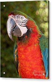 Red-and-green Macaw Acrylic Print by Svetlana Ledneva-Schukina