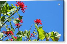 Red And Green San Diego Flowers Acrylic Print by Doreen Whitelock