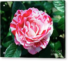 Red And Pink Floral Candy Rose Garden 490 Acrylic Print