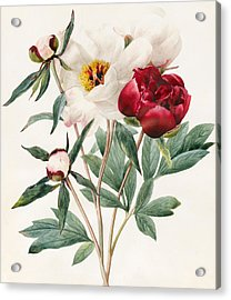 Red And White Herbaceous Peonies Acrylic Print