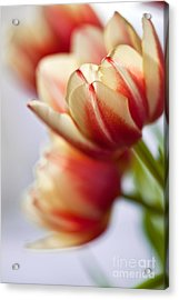 Red And White Tulips Acrylic Print