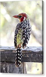 Red-and-yellow Barbet Acrylic Print by Pravine Chester