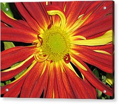 Red And Yellow Flower Acrylic Print by Barbara Yearty