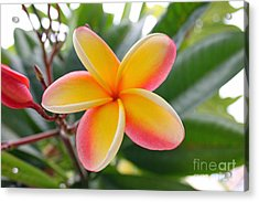 Red And Yellow Plumeria Acrylic Print by Brian Governale
