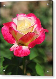 Red And Yellow Rose Acrylic Print