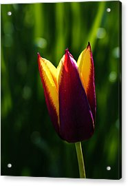 Red And Yellow Tulip Acrylic Print