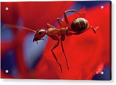 Acrylic Print featuring the photograph Red Ant Macro by Jeff Folger