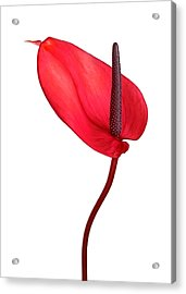 Red Anthrium Acrylic Print