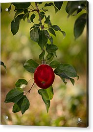 Red Apple Ready For Picking Acrylic Print