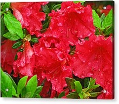 Red Azaleas Acrylic Print by Richard Singleton