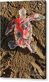 Red Baby Sea Turtle From The Feral Plastic Series By Adam Long S Acrylic Print