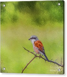 Red-backed Shrike Acrylic Print