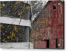 Red Barn And Forsythia Acrylic Print