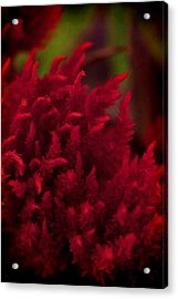 Acrylic Print featuring the photograph Red Beauty by Cherie Duran