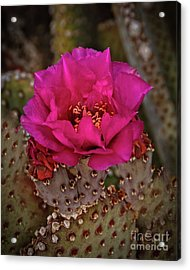 Acrylic Print featuring the photograph Red Beavertail Cactus Bloom by Robert Bales