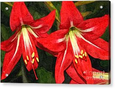 Amaryllis Lily Acrylic Print
