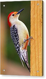 Red Bellied On Post Acrylic Print by Alan Lenk