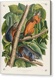 Red Bellied Squirrel  Acrylic Print by John James Audubon