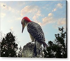 Red-bellied Woodpecker - Tree Top Acrylic Print by Al Powell Photography USA