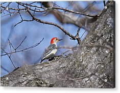 Acrylic Print featuring the photograph Red-bellied Woodpecker 1134 by Michael Peychich