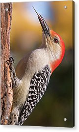 Acrylic Print featuring the photograph Red Bellied Woodpecker's Toolkit by Jim Hughes