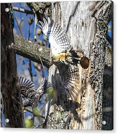 Red Bellied Woodpecker Chasing An Attacking Starling Acrylic Print