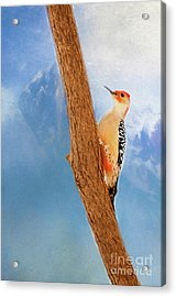 Acrylic Print featuring the digital art Red Bellied Woodpecker by Darren Fisher