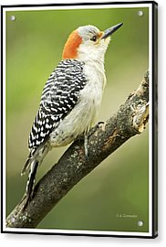 Red Bellied Woodpecker, Female On Tree Branch Acrylic Print