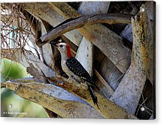 Red-bellied Woodpecker Hides On A Cabbage Palm Acrylic Print by Barbara Bowen