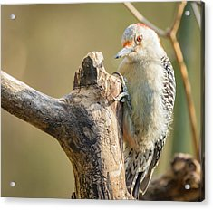 Red Bellied Woodpecker Img 7 Acrylic Print