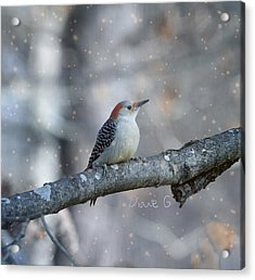 Red-bellied Woodpecker In Snow Acrylic Print