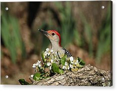 Red-bellied Woodpecker In Spring Acrylic Print by Sheila Brown