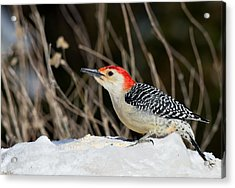 Acrylic Print featuring the photograph Red-bellied Woodpecker In The Snow by Angel Cher