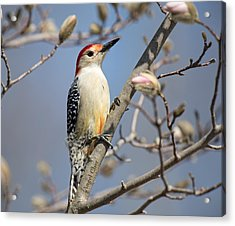 Acrylic Print featuring the photograph Red-bellied Woodpecker On Magnolia by Angel Cher