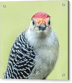 Red Bellied Woodpecker Portrait Acrylic Print