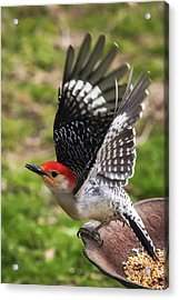 Acrylic Print featuring the photograph Red Bellied Woodpecker Take Off by Terry DeLuco