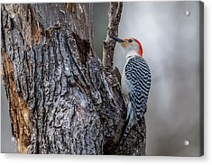 Acrylic Print featuring the photograph Red Bellied Woody by Paul Freidlund