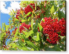 Acrylic Print featuring the photograph Red Berries, Blue Skies by D K Wall