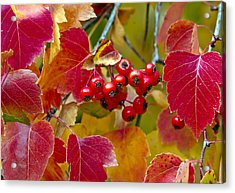 Red Berries Fall Colors Acrylic Print by James Steele