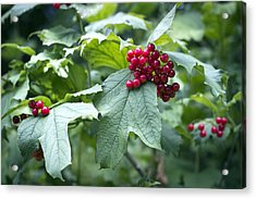 Red Berries Acrylic Print by Helga Novelli