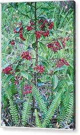 Red Berries Acrylic Print by Tara Kearce